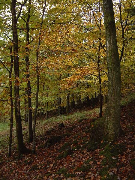 Quercus Petraea Bosque