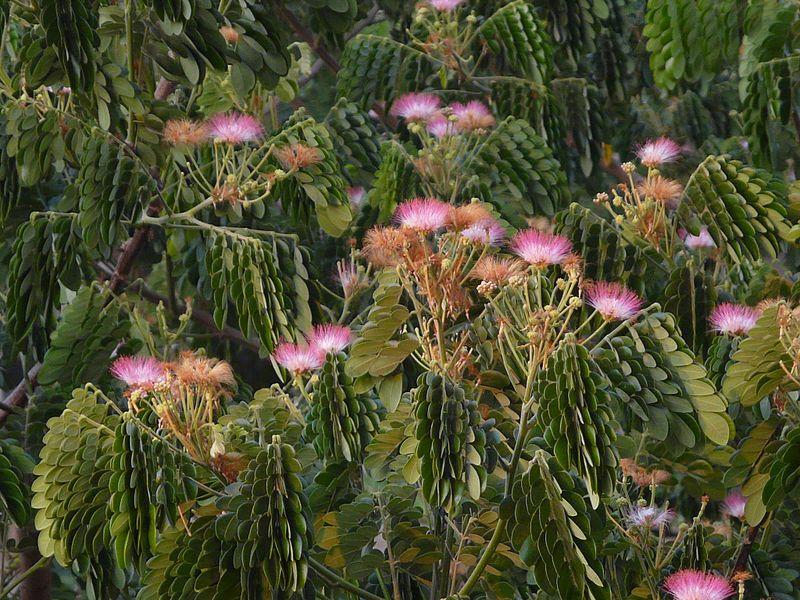 Flores saman