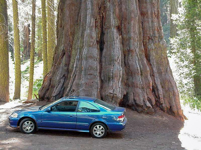 Sequoia_and_a_car