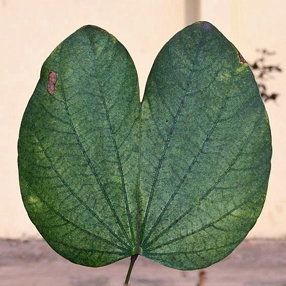 hojas-de-Bauhinia-blakeana