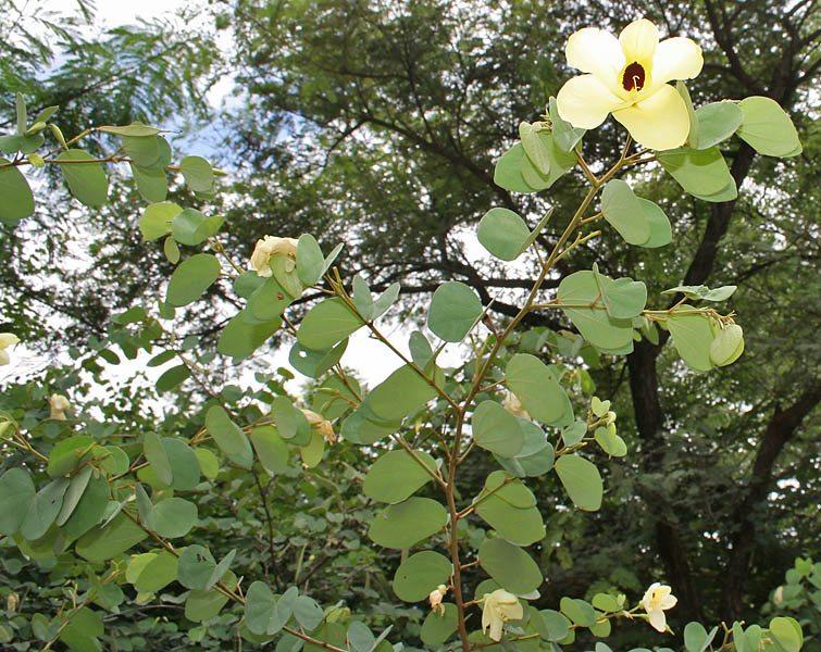 ramas-de-la-Bauhinia-tomentosa