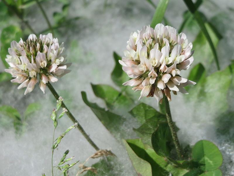 Semillas de Salix
