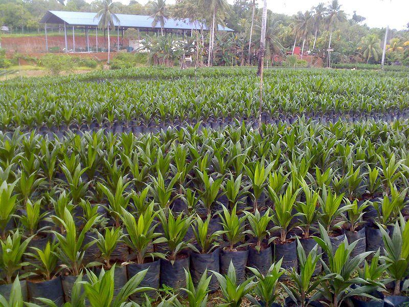 Plantaciones de Elaeis Guineensis