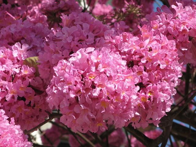 Flores de Handroanthus
