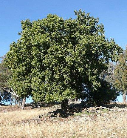 árbol kurrajong