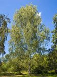 árbol Betulá