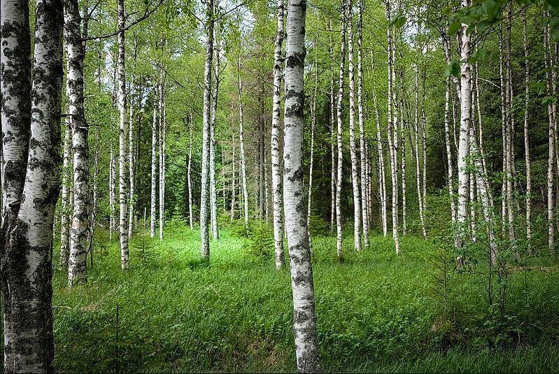 bosque de betulá