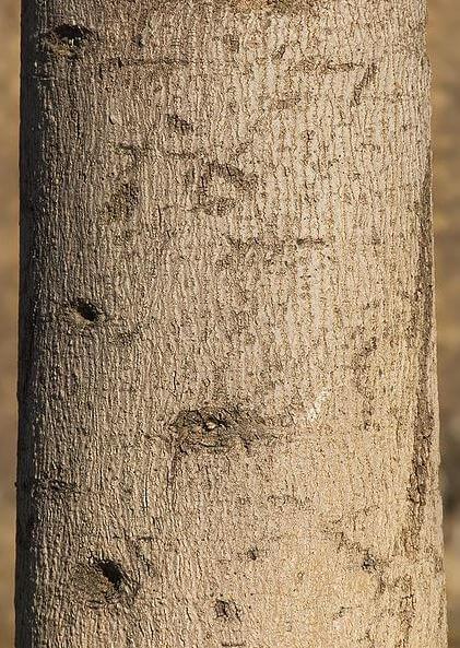 Tronco Brachychiton Populneus
