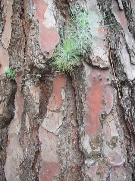 corteza del pinus