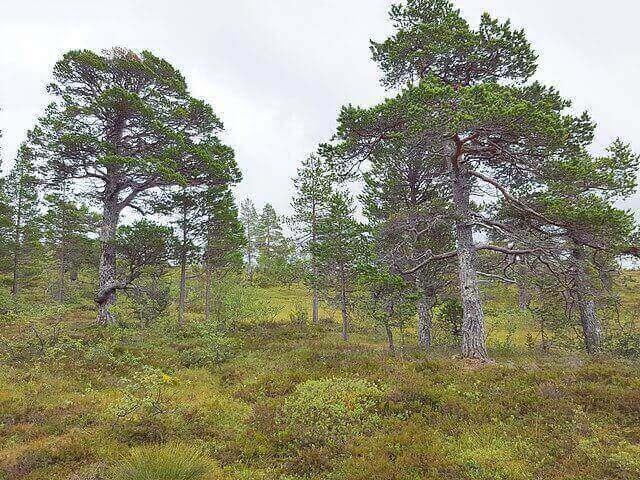 pinos silvestres